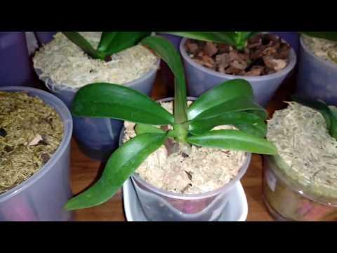 Орхидеи Iren Dobkin и Amabilis green - yellow