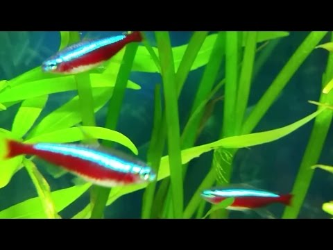 Cardinal Tetra Care Guide - Gender, Neon Tetra & Cardinal Tetra Differences, Breeding Tips