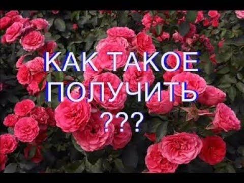 Как обрезать вьющуюся розу. #обрезкавьющейсярозы#уходзарозой#сад#розарий#