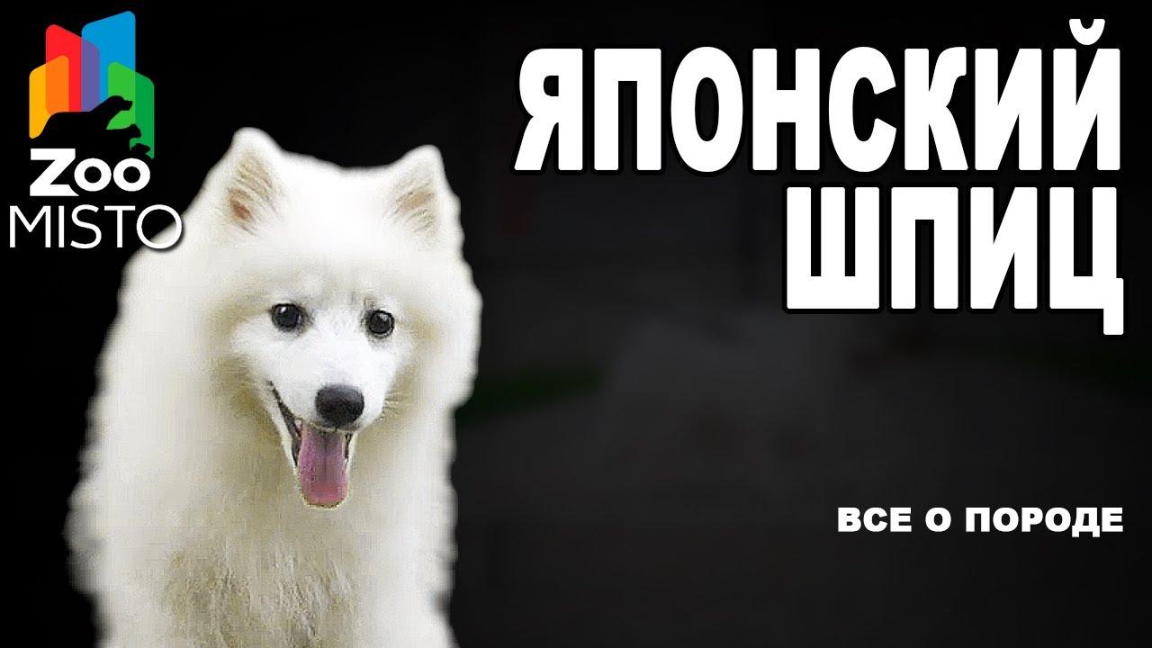 Японский шпиц - Все о породе собаки | Собака породы - Японский шпиц