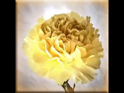 Yellow Carnation Flower Set Of Beautiful Picture Collection Youtube