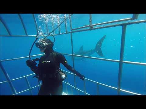 2016 White Shark Guadalupe Island Nautilus Belle Amie