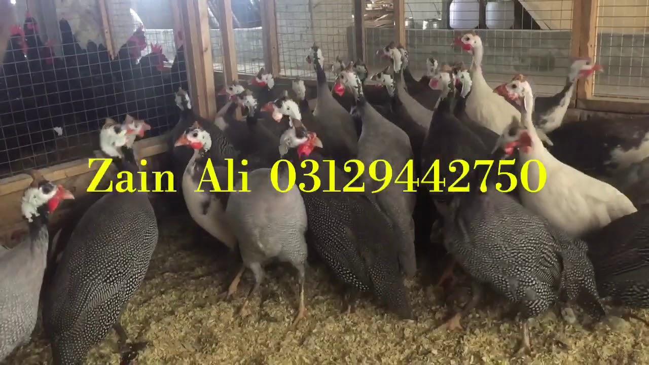 Domestic Guinea Fowl Available in Different Colours 03459442750 Zain Ali  Farming In Pakistan