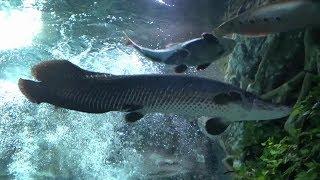 롯데월드 아쿠아리움 - 담수수조, Fishes of T…