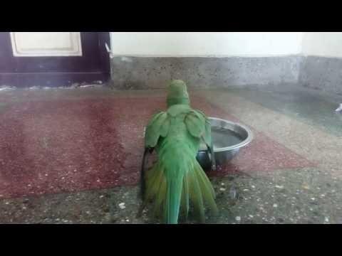 Green parrot bathing video must watch it