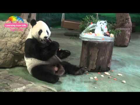 團圓11歲慶生,吃相大不同!Giant Panda Tuan  Tuan  and Yuan Yuan's 11-Year-Old Birthday Party