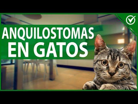 ¿Qué son los Anquilostomas en 🐱 Gatos? Causas, Síntomas y Tratamiento 🐱
