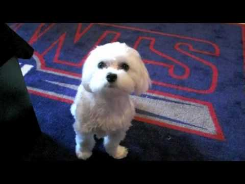 Adorable and Cute Maltese Puppy Dog! A MUST SEE!!!
