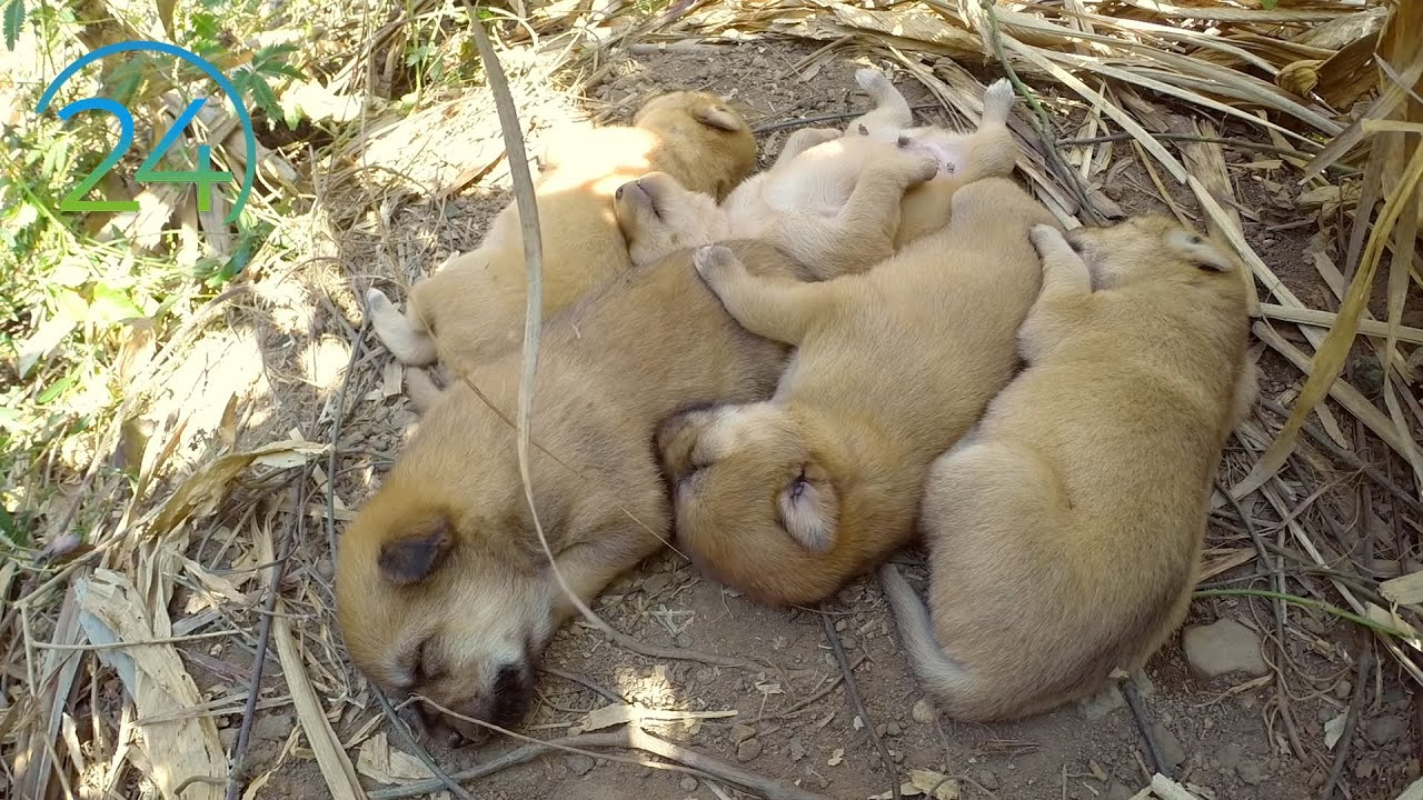 "5 puppies sleeping - 11 hours w/ natural ""rawwwww"" sound - Hear cute puppies sleeping"