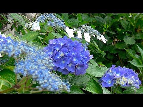 1300本の紫陽花の寺 保安寺 2017年6月8日