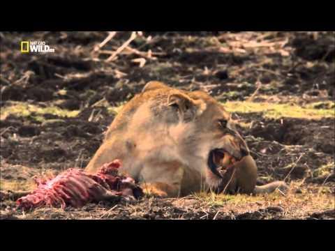Война за территорию  Львы и бегемоты