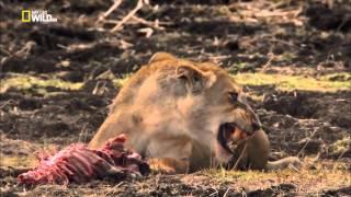 Война за территорию   Львы и бегемоты(В сезон засухи в долине Луангвы в Африке львы охотятся на берегах реки, но голодные бегемоты не желают делит..., 2015-07-23T11:02:07.000Z)