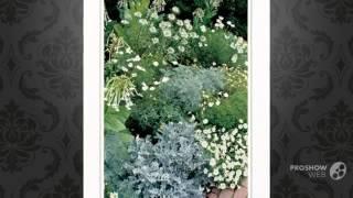 Nicotiana - garden plants
