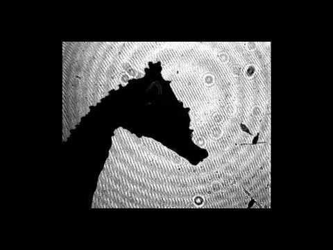 Dwarf Seahorse Snatches a Copepod