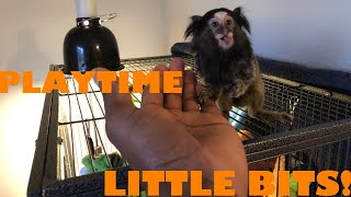 Marmoset Finger Monkey Playing HIDE And SEEK 1000 Subscriber Giveaway!