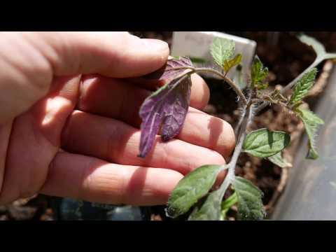 рассада томатов,фиолетовая нижняя сторона листа под светодиодными лампами