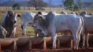 O sistema pecuário de Amarildo Merotti - Engorda bovina