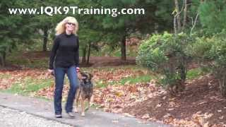 "Iq K9 Training | Learning A Head Up, Focused ""heel"" With Prancing - Bonsall Dog Training"