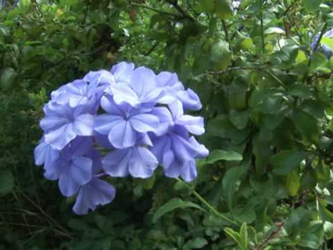 Cillas garden pretty blue flowers youtube cillas garden pretty blue flowers mightylinksfo