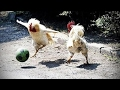 Funny Chicken ULTIMATE Funny CHICKEN Compilation () [Funny Pets]
