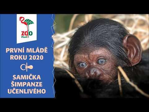 Mládě šimpanze učenlivého (*1.1.2020)