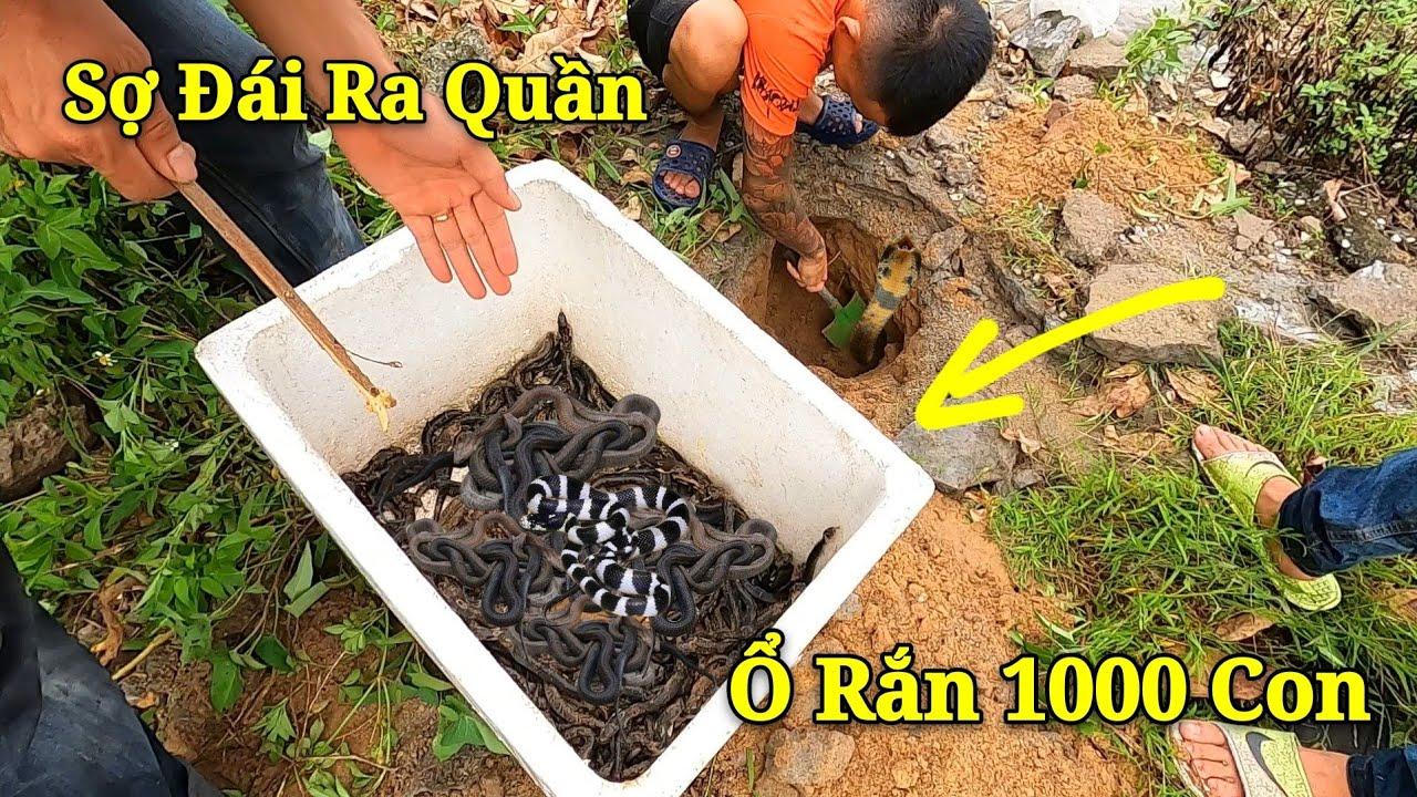 KRắn Hổ Mang Chúa Bố Mẹ Hung Dữ Bảo Vệ 1000 Rắn Hổ Chúa Con | 1000 King Cobra