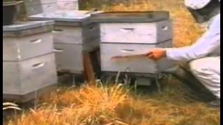 Разведение пчел.