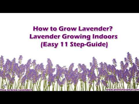 How to Grow Lavender? Lavender Growing Indoors (Easy 11 Step-Guide)