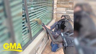 Great Dane visits senior center and says 'Hi' through the window l GMA Digital