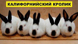 Разведение кроликов Калифорнийской породы как бизнес идея | Кролиководство | Калифорнийский кролик