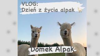 VLOG: Dzień z życia alpak :)