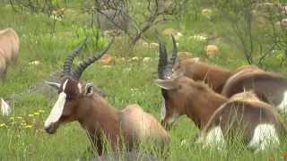 SOUTH AFRICA Bontebok national park, Swellendam (hd-video)