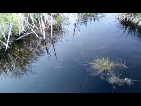 Видео ловля ротана на удочку