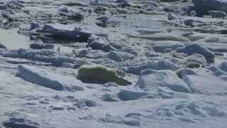 land of the polar bears in arctic svalbard