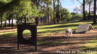 White shepherd is jumping an agility at Musgrave Dog park.