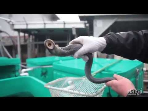 Lamprey - The Forgotten Fish