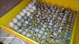 Jak inkubować jajka? Cz.1- Przygotowanie jaj