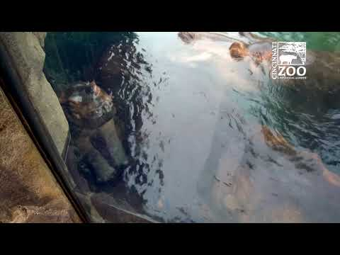 Baby Hippo Fiona Sleeping with Parents, Important Moment for Family - Cincinnati Zoo