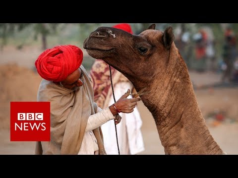 Why Is Indias Largest Camel Fair Struggling Bbc News