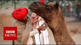 Why is India's largest camel fair struggling? - BBC News