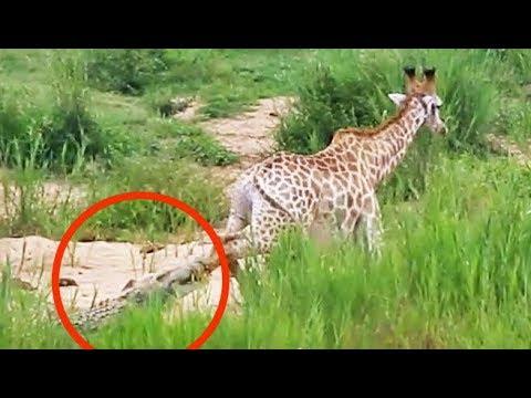Long Battle Between Giraffe and Crocodile