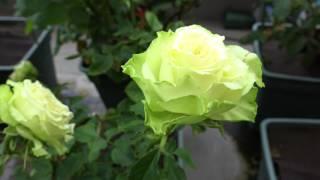 家の薔薇たち 2017.7.23 朝 4k thumbnail