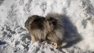 Кеесхонд (вольфшпиц шпиц). Весна. Снег. Собака купается.