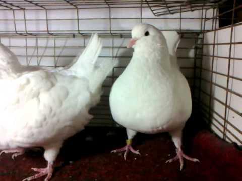 0b4fe4fe9 كنج ابيض من طيور مزرعه أحمد و رامي - YouTube