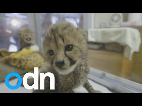 Cute Killahs: Cheetah cubs hand-raised at San Diego Zoo