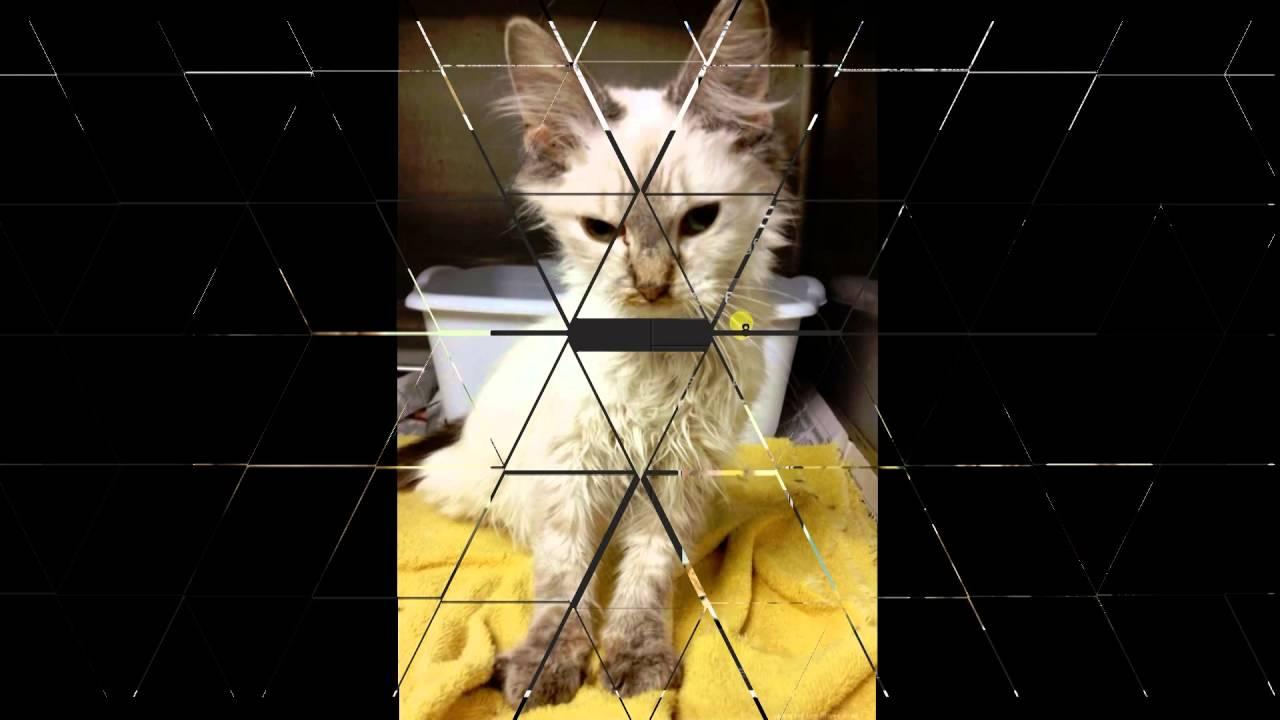 貓傳染性腹膜炎(五)-乾式貓傳染性腹膜炎 - YouTube