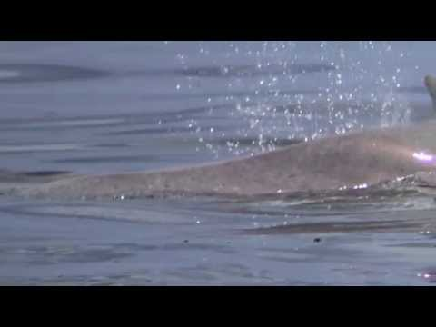 First Film of Rare Humpback Dolphins in Watamu Kenya Associating with Bottlenose Dolphins