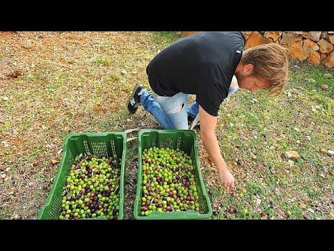 euronews (deutsch): Kroaten pflücken am besten
