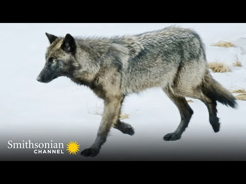 This Lone Wolf Weighs Up a Solo Attack on an Injured Elk 🐺 Epic Yellowstone | Smithsonian Channel