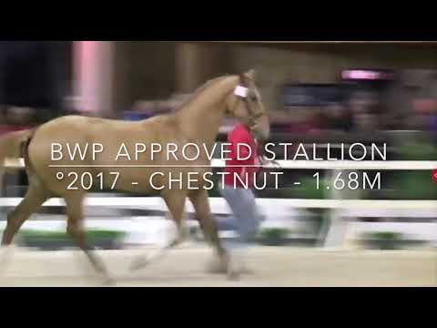 Bombay ter Doorn BWP approved stallion 2017